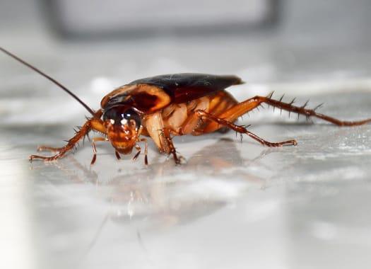 an american cockroach crawling along the white tile floor inside of a lexington kentucky home