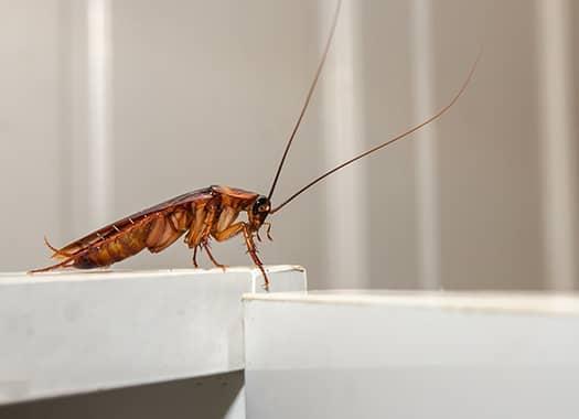 cockroach in louisville kitchen