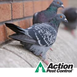 pigeons nesting on a building in louisville