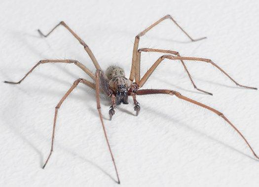 a commoon house spider on a wall