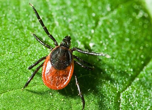 a blood fulled eer tick craawlig along the leaf of a terre haute yard