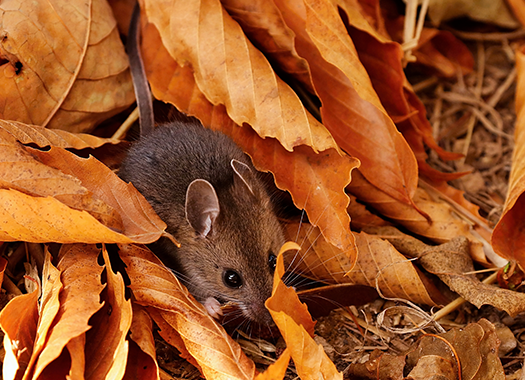 a small mouse in a bed of leaves outside
