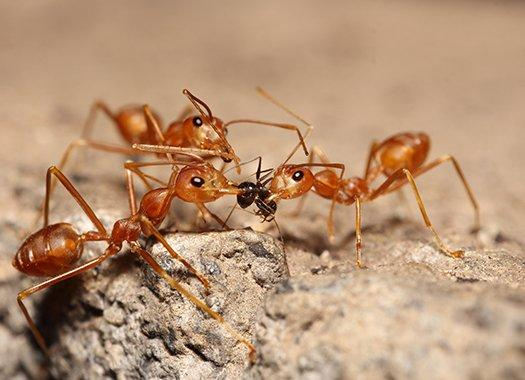 fire ants eating prey