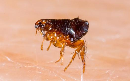 a flea jumping on human skin