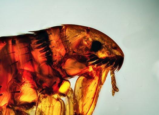 magnification of a flea