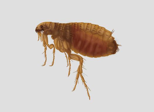 flea up close on gray background
