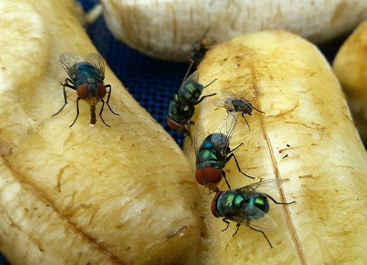 flies on rotten fruit