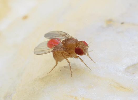 phroid fly