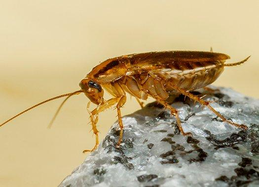 a german cockroach crawling on a arock