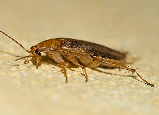 a german cockroach crawling along a bathroom floor