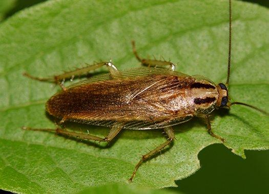 a german cockroach on a green leaf