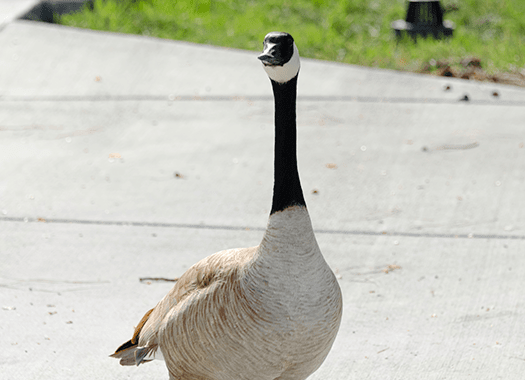 goose roaming free in public