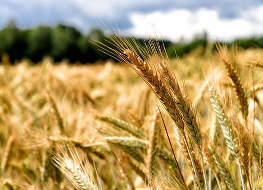 a wide field of grain on an evensville indiana farm unknowingly infested by pests that eat away and quickly spread through out stored products such as wheats and grains