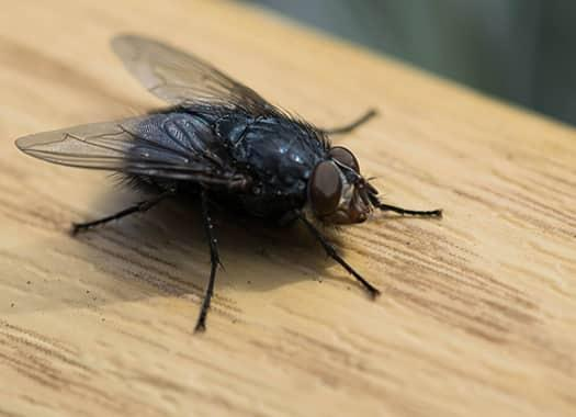 a common house fly festering in a louisville kicthen