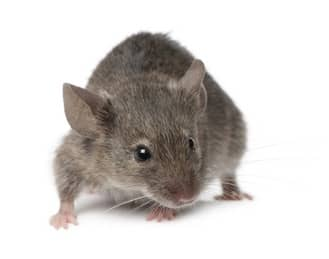 Action Pest House Mouse