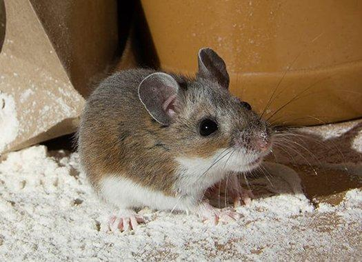 house mouse in a pantry