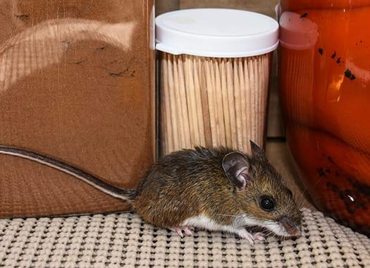 a small house mouse creating a big problem within a terre haute indianan home