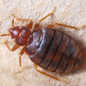 up close image of a bed bug