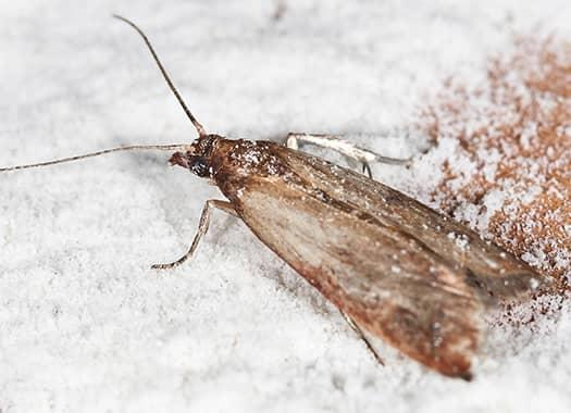 indian meal moth in flour