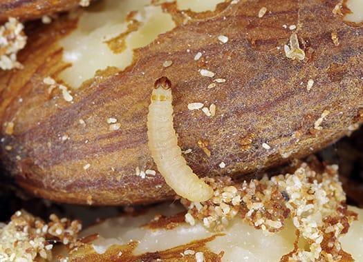 indian meal moth larvae eating a potato