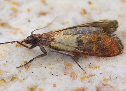idian meal moth infesting food storage