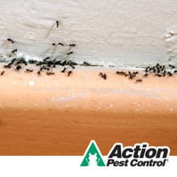 ants in an indianapolis home