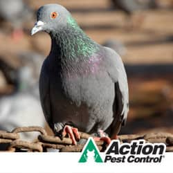 Commercial Pigeon Control In Indiana