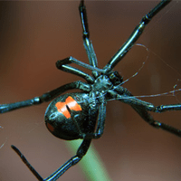 black widow spider in an indianapolis home