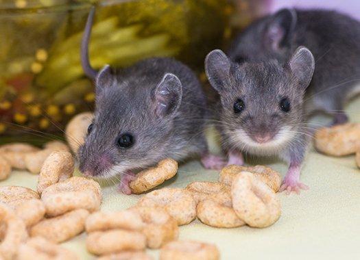 mice in pantry