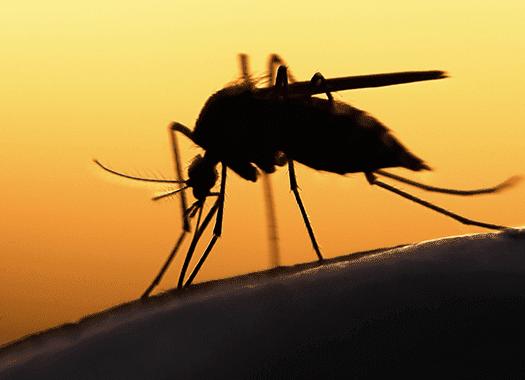 mosquito biting skin up close