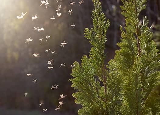mosquitoes flying to trees