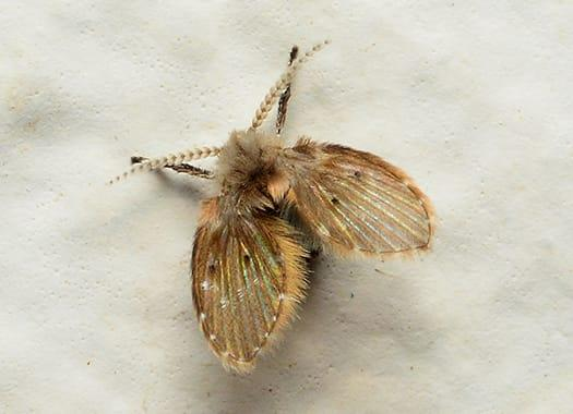 a small hairy looking moth fly infesting an elizabethtown home this late fall