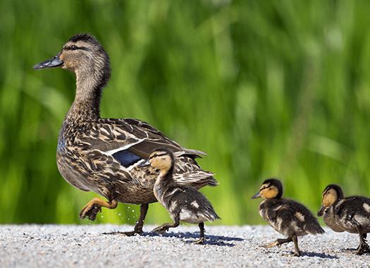 ducks near a business