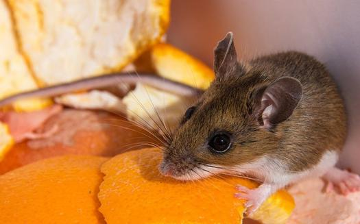 a mouse eating composted foods