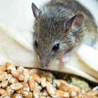 mouse seeking food source