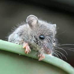 mouse in pail