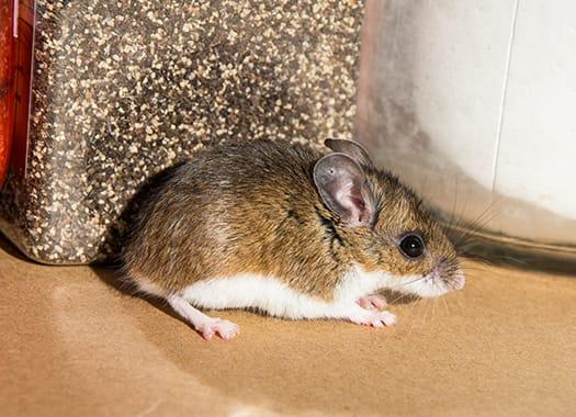 a house mouse scruttying accrodd the hardwood floor in an andianapolis home durring mid fall
