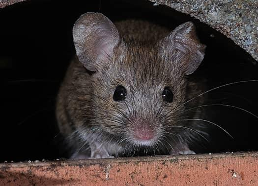 rodent hiding in a hole