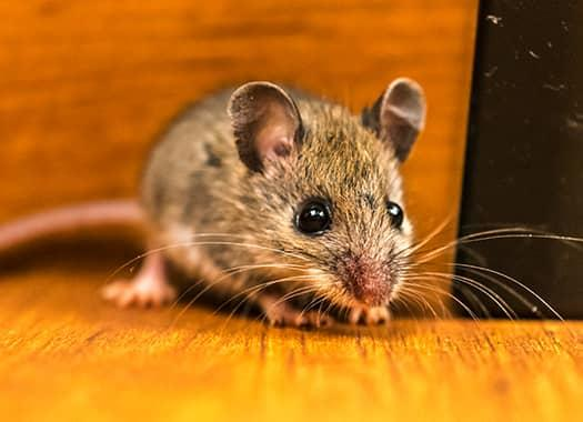mouse on floor in lexington home