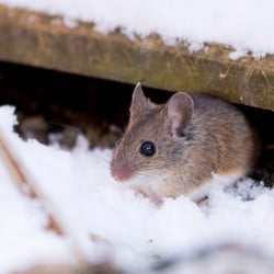 mouse looking for winter shelter