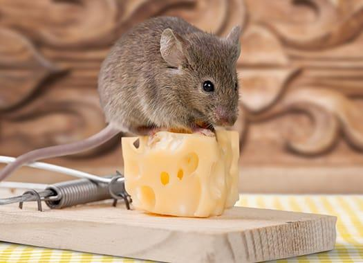 a mouse standing on cheese in a mouse trap