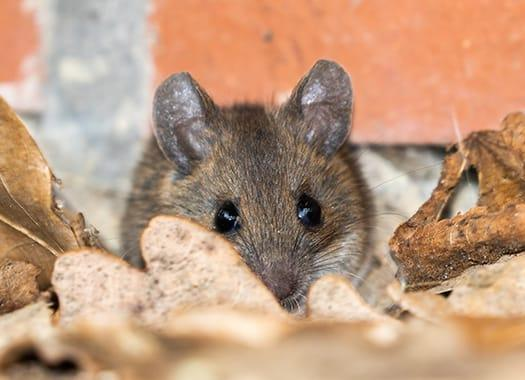 a small house mouse making a large mess as it is storing up for winter by nesting a louisville home