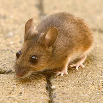 mouse trying to enter an indiana home