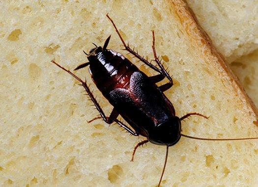an oriential cockroach on the floor