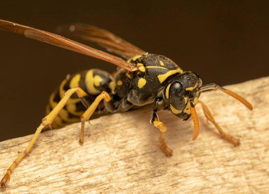 a paper wasp crawling on a wood