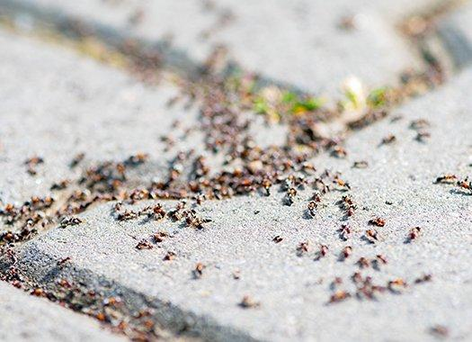 pavement ants infesting a patio