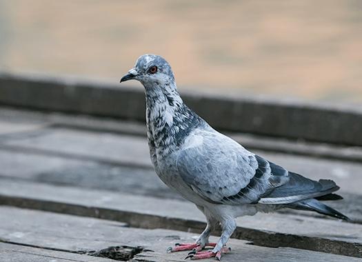 pigeon near a business