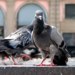 pigeons on business