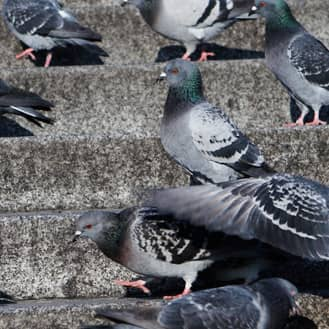 pest birds on the steps of an evansville business