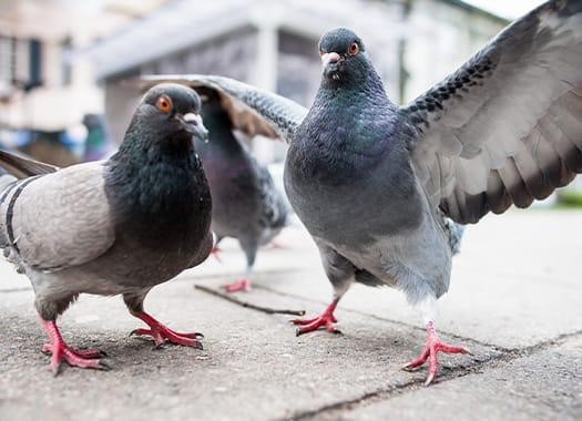a flock of pigeons pecking as crumbs outside of an indiana business